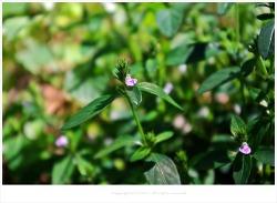 [9월 야생화] 쥐꼬리망초(무릎꼬리풀) 효능 - 류마티스.종기.타박상.간염.감기.인후통/약용식물