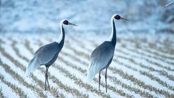 철원에서 만난 재두루미 겨울여행 white-naped crane Trip