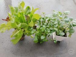 쁘띠 홈 가드닝 - 물만 줘도 쑥쑥 자라는 새싹 채소 재배하기