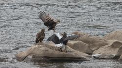 4부 한강의 칼바람속 바위에서 벌어진 흰꼬리수리와 참수리의 다툼 날개는 누가먹나?
