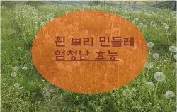 흰 민들레 뿌리 효능 알아보기