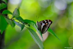 번개오색나비 산란