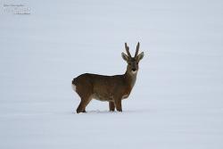 노루 [Roe Deer(Chinese Roe)]