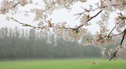 용산기지 봄맞이 벚꽃길투어