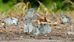큰줄흰나비 떼샷