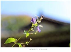[10월 길상사야생화] 누린내풀(노린재풀.구렁내풀) - 길상사