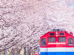 2019 봄 인생샷 명소 추천! 열차 타고 만나는 봄꽃축제 현장