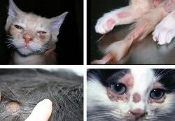 고양이 링웜에 대해 미리 알고 대처하기