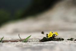 대견한 돌양지꽃,,