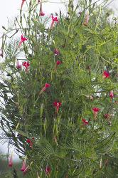 둥근잎유홍초와 새깃유홍초