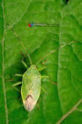 작은주걱참나무노린재 Urostylis annulicornis