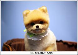 [인천 청라 가위컷 전문 젠틀독] 아기 포메라니안 모찌의 곰돌이컷~♡