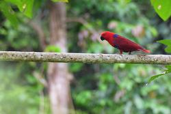 Eclectus Parrot, 38cm