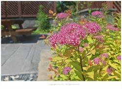[6월 분홍꽃나무] 황금조팝나무꽃 - 일본조팝나무 원예종