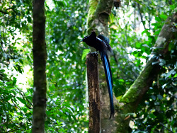Black Sicklebill[Bird Of Paradise],110cm
