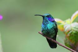 Green Violet-ear, 10cm