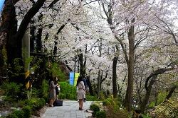 벚꽃명소 경기도청에서 2019 4월 첫째 주말 '봄꽃축제' 개최