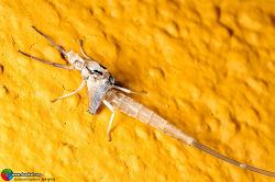 하루살이 Ephemeroptera