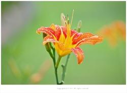 [7월 주황색야생화] 비오는날 왕원추리 - 여름 야생화