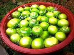 수확한 청토마토를 활용한 토마토장아찌 만들기(만드는법)