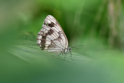흰뱀눈나비