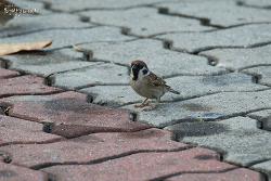참새 [Eurasian Tree Sparrow]