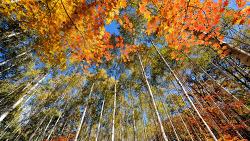 원대리 자작나무 숲