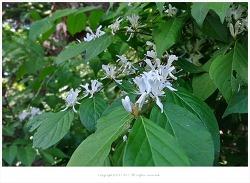 [5월 흰색꽃나무] 괴불나무 - 오대산 전나무숲길 야생화