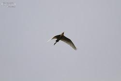 황로 [Eastern Cattle Egret]