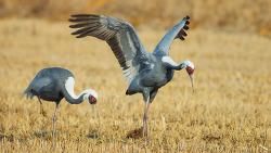 재두루미 White-naped crane