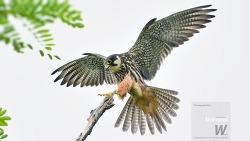 겨울에 보는 내륙의 맹금이 여름 철새 새홀리기 또는 새호리기 착지 순간 Eurasian Hobby