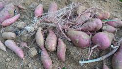 고구마 재배[수확시기,밤고구마 캐기,큐어링(아물이),숙성 장기간 저장 보관방법]