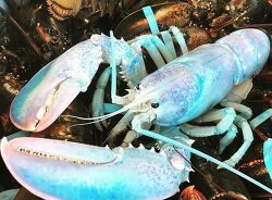 "VIDEO; Fisherman Catches Beautifully Rare ""Cotton Candy"" Lobster in Canada 매우 드문 아름다운 코튼색깔의 바닷 가재"