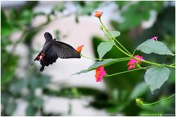 남방제비나비