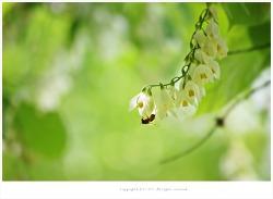 [5월 흰꽃나무] 향기로운 쪽동백나무꽃