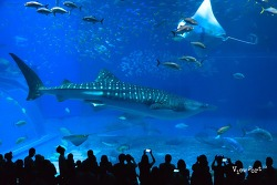 오키나와 츄라우미수족관 고래상어 동영상 감상해 보세요