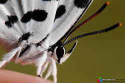 진딧물을 잡아먹는 바둑돌부전나비