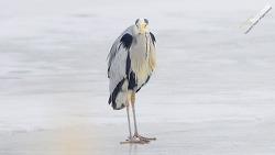 여름철새 왜가리 Gray Heron 칼바람 한강위에 자세잡다. ㅋㅋㅋ