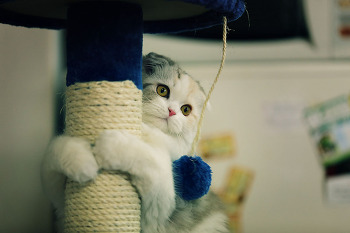 냥이 - 하이랜드 폴드는 캣타워를 사랑합니다.