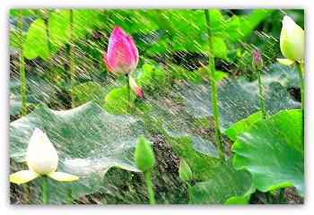 17ㅡ7ㅡ5 연꽃