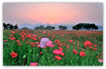 양귀비꽃 6ㅡ16