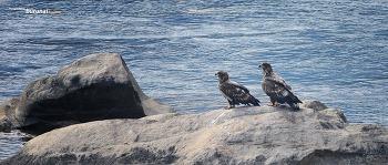 한강의 흰꼬리수리 커플  White-tailed sea eagles of the Han River