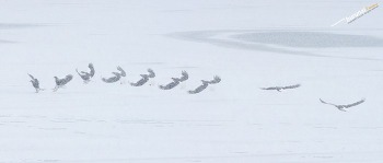 함박눈의 눈보라가 휘날리는 한강의 눈밭에서 저공비행을 하는 참수리 Steller's sea eagle