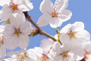 동탄 리베라CC 제 3회 벚꽃축제 EVENT!