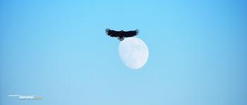 한강에서 만난 달을 품은 흰꼬리수리