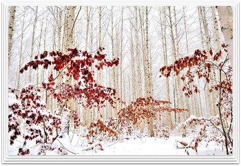겨을 자작나무숲 12ㅡ24