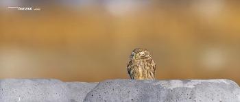 Little owl 금눈쇠 올빼미의 추억속 표정 #2