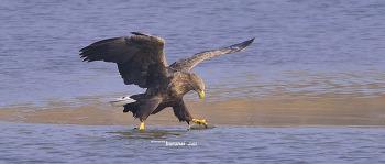 강릉 남대천의 흰꼬리수리 White tailed sea eagle
