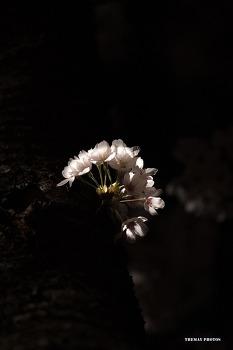 2016 벚꽃