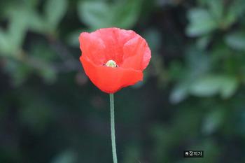 인터벌 타이머릴리즈 MC2C를 이용한 꽃 양귀비의 개화순간 촬영.